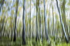 Im Birkenwald