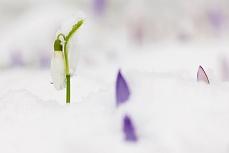 Das Schneeglöckchen