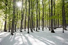 Grüner Buchenwald mit Schnee