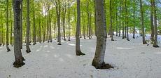 Schneefrühling im Kandelwald
