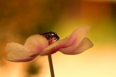 Anemone in Aprikot