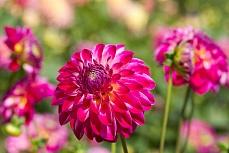 Dahlie pink 2