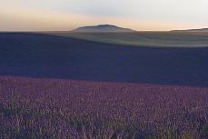 Lavendelfeld 1