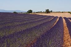 Lavendelreihe 1