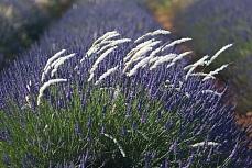 Lavendelreihe 2