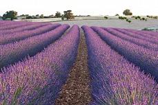Lavendelreihe 3
