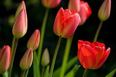 Tulpengruppe I