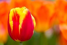 Gelb-Orange Tulpe