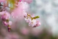Kirschblüte II