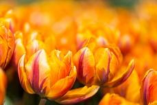 Orangenes Blütenmeer