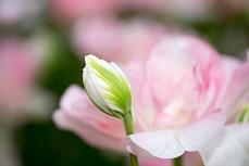 Dezent rosa