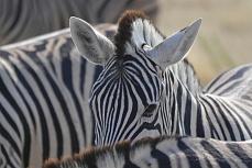Zebra - fest im Blick