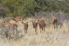 Schwarzgesicht-Antilopen