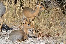 Dik Dik Antilopen - die kleinsten Antilopen der Welt