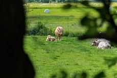 Nordfriesische Rinder bei Rodenäs