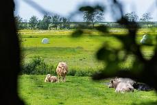 Rinderherde bei Rodenäs in Schleswig-Holstein