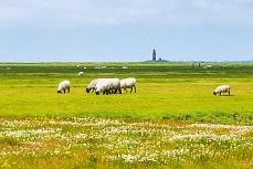 weidende Schafe mit Leuchtturmblick auf der Hallig