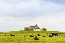 Bauernhaus mit Kuhherde auf einer Hallig