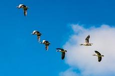 Gänse im Formationsflug über der Hallig Langeness