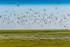 Vogelschwarm bei Schüttsiel in Schleswig-Holstein