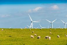 Schafe mit Windrädern am Hauke-Haike-Koog Deich