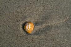 Auf der Insel Amrum findet sich diese Muschel im Sand