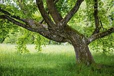 Alter Baum Loretto