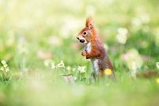 Eichhörnchennuss