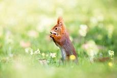 Nusshörnchen auf der Wiese
