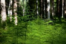 Schachtelhalme im Birkenwald