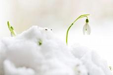 Schneeglöckchen I