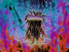 Löwenzahn Flower-Power