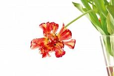 Abgeblühte hängende Tulpe