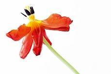 Abgeblühte Tulpe mit Stiel