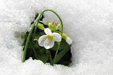 Aus dem Schnee guckende Schneeglöckchen