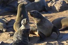 Robbenfamilie bei Cape Cross