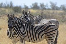 Zebras - so viele Streifen