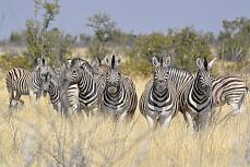 Zebras beobachten genau