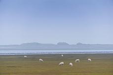 Schafe auf der Insel Sylt, nordfriesisch