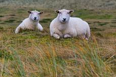 Weiße Schafe, fotografiert in Sylt, Schleswig-Holstein