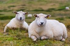 Zwei weiße Schafe, fotografiert in Sylt, Schleswig-Holstein