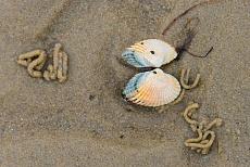 Wattwürmer aus dem Wattenmeer Sylt, Rantumer Dünen