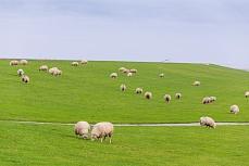 Grasende Schafe im Europaschutzreservat Sylt Rantum
