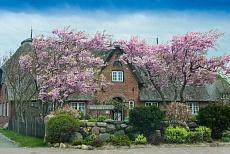 Nordfriesland: Reetdachhaus mit Flieder in Norddorf auf Amrum