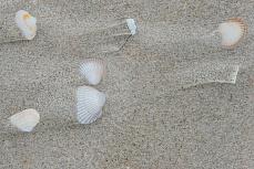Muscheln am Strand von Amrum