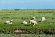 Grasende Schafe auf der Hamburger Hallig