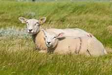 Zwei weiße Schafe in Schleswig-Holstein