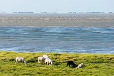Grasende Schafe an der Nordfriesischen Festlandküste