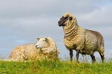 Zwei Schafe am Beltringharder Koog Deich
