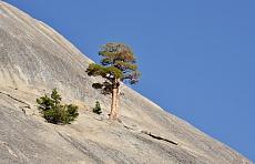 Baum auf dem Polly Dome im Yosemite National Park